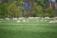 Reiher, unter Schafe (hwl.weber) Tags: outdoor wiese fx schafe reiher herde nikond750