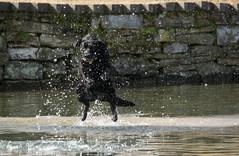 Rosie Jumping (WMJ614) Tags: dog black swim jump pond labrador play dive feather canine splash leap fetch