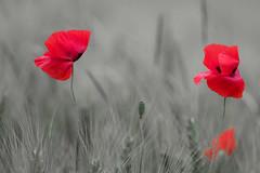 Coquelicots. (bertolinijacques) Tags: france macro fleur rouge vent gard proxy ardche coquelicots bls