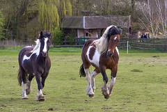 IMG_1240 (Kev Gregory (General)) Tags: horse dog pets fun happy play woo chase gregory kev canter gallop trixi