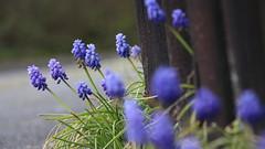 Hyazinthen (naturbilderfreak) Tags: frhling hyazinthe