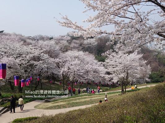 안산공원벚꽃12