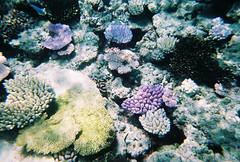 Coral (Katie Tarpey) Tags: ocean sea fish water coral 35mm reflections underwater australia lilac queensland tropical snorkelling portdouglas reef greatbarrierreef naturalwonder disposable fujisuperiaxtra800 quicksnapmarine fujicolorquickcnapmarine800