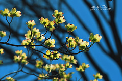 Pops Of Life (Hi-Fi Fotos) Tags: flowers sky tree nature spring nikon branch dof bokeh blossoms 85mm bloom buds manual nikkor 118d d5000 hallewell hififotos