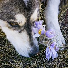 Dog Park Crocus's (DGC Photography.ca) Tags: dog canada calgary spring husky crocus alberta sniffing chinook dogpark springflowers huskycross dougcallow