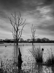 Deadwood (Northern Kev) Tags: longexposure trees blackandwhite water monochrome dead mono pond nikon eerie northumberland 1855 cramlington northeast deadwood deadtrees nikond3200 d3200 arcot nikon1855 silverefexpro2 arcothallpond