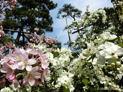 (Shiori Hosomi) Tags: flowers plants japan tokyo march  sakura cherryblossoms   prunus rosales chaenomeles  2016 rosaceae             23