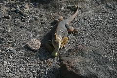 IMG_7634 (chupalo) Tags: landiguana lavarocks islasplaza