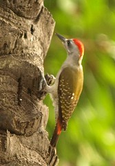 Grey Woodpecker (Dendropicos goertae) (Rosa Gamboias/ PC crash) Tags: birds aves uccelli woodpeckers oiseaux thegambia kololi greywoodpecker picapaus dendropicosgoertae gmbia rosagambias senegambiahotelgrounds