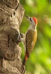 Grey Woodpecker (Dendropicos goertae) (Rosa Gamboias) Tags: birds aves uccelli woodpeckers oiseaux thegambia kololi greywoodpecker picapaus dendropicosgoertae gâmbia rosagambóias senegambiahotelgrounds