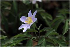 Blaues Buschwindrschen (julia_HalleFotoFan) Tags: anemone buschwindrschen windrschen anemonenemorosarobinsoniana botanischergartenhalle blauesbuschwindrschen
