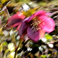 think pink (bnicoll2020) Tags: life pink red plant blur flower green spring move petal