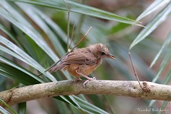 Abbott's Babbler (juvenile) (Vinchel) Tags: park bird nature animal cat canon is outdoor wildlife vietnam national ii l usm f28 tien 400mm 1dx