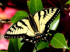 Eastern Swallowtail Butterfly resting on the Camellia Bush (teresamp2014) Tags: macro ngc specanimal alittlebeauty coth5 sunrays5 march29naturepics