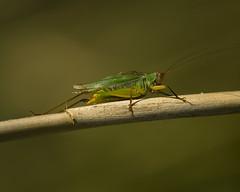 Colorful Katydid Sept-21-2015-1v2 (njumer) Tags: nature animal animals insect michigan wildlife insects katydid invertebrate invertebrates metropark katydids