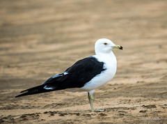 Seagull (mlahsah) Tags: sea nikon seagull redsea ngc     nikond750