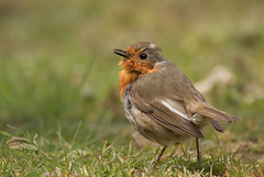 Robin-7570 (Kulama) Tags: nature robin birds spring westsussex wildlife
