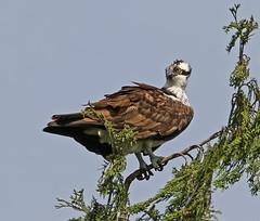 Osprey (RebelRob) Tags: birds vancouverisland birdwatching osprey birdsofprey pandionhaliaetus