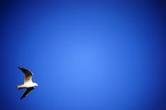 DSC02304c2 (haru__q) Tags: seagull sony  a7  summar leitz