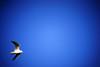 DSC02304c2 (haru__q) Tags: seagull sony 横浜 a7 かもめ summar leitz