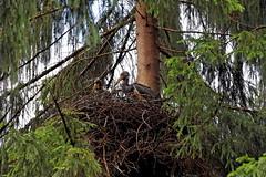 Jungstrche (bayerischestaatsforsten) Tags: bayern nest horst wald bume baum vogel storch schwarzstorch baysf staatswald bayerischestaatsforsten