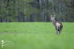 L'ado (Les Frres des Bois) Tags: red deer reddeer cerf pr cervidae cervuselaphus daguet cervids cerflaphe