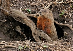 Master of the Lair (Slow Turning) Tags: wild rodent hole earth den entrance soil woodchuck groundhog marmot hillside alert treeroots southernontario burrow watchful whistlepig marmotamonax
