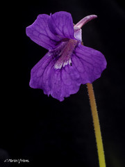Large butterwort M4259561sm (Preselector) Tags: flower greenhouse 50mmmacro pinguiculagrandiflora kerryviolet