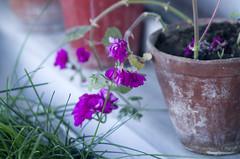 sadflower (maculatefoto) Tags: plant flower focus pentax bokeh m42 manual jupiter boke 135mm 37a pentaxk5ii