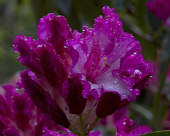 Rain on the rhodies_1209 (DCWright-Whidbey) Tags: nature spring rhododendron rhodies raindropsonflowers springbloom flowersintherain rhodieblossom rhododendronblossoms canoninnature