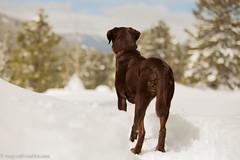 High Alert (KB RRR) Tags: dog snow colorado rockymountains frontrange chocolatelabrador shyla