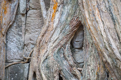 The Hidden Apsara (baddoguy) Tags: old travel sculpture tree history tourism monument nature beauty horizontal closeup mystery architecture photography ancient rainforest asia cambodia khmer antique religion nopeople unescoworldheritagesite rebellion spirituality arrival tradition root hiding angkor hinduism ancientcivilization tropicaltree traveldestinations colorimage taprohmtemple famousplace hindugod oldruin siemreapprovince plantpart eastasianculture stonematerial cambodianculture wallbuildingfeature globemanmadeobject