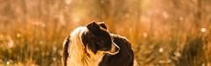 18/52 Contentment (JJFET) Tags: dog for collie sheepdog border 18 weeks 52 dogsmist