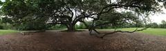 Canon206474-Canon206489 (godrudy6661) Tags: neworleans audubonpark treeoflife oaktrees
