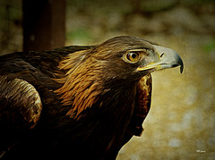 Golden (MEaves) Tags: bird nature raptor predator avian goldeneagle