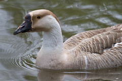 Unknown Goose 4-30-2016-1 (Scott Alan McClurg) Tags: life wild nature water animal swimming swim geese spring woods wildlife goose neighborhood wetlands suburbs waterfowl waterbirds naturephotography