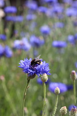 Bee and cornflower (Richimal) Tags: flower nature insect wildlife bee hamptoncourt hamptoncourtpalace cornflowers pollinator