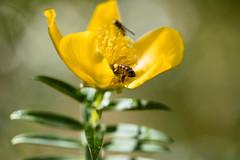 Insectes et fleur jaune en fort tropicale (zambaville) Tags: macro fleur jaune canon eos is usm fort abeille mouche insectes proxy flore tropicale f28l ef100mm lesquelin 5dsr