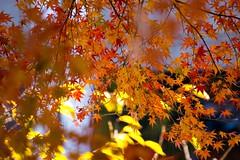 Japanese maple (KirstinaReitan) Tags: japan maple autumncolours acer