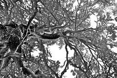 """caos ... invernale ("""" paolo ammannati """") Tags: trees winter snow gelo alberi neve inverno freddo verna casentino chiusidellaverna paoloammannati forestecasentinesi albericonneve"""