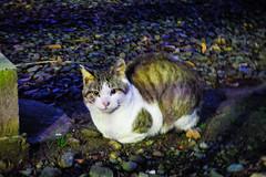 Today's Cat@2016-01-24 (masatsu) Tags: cat pentax cc100 catspotting mx1 thebiggestgroupwithonlycats