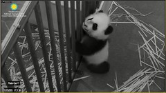 Aren't I sweet, aren't I cute, aren't I adorable (partipersian) Tags: mom meixiang pandacub beibei
