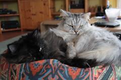 Kuschelstunde #11 (Vasquezz) Tags: cat katze siberian siberiancat sibirische  zarah fussel forestcat coth waldkatze kuschelstunde sibirisch sibirischekatze   coth5