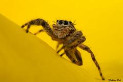 IMG_8653 Veracruz - Saltique - Platycryptus sp (poss undatus) (fabianvol) Tags: portrait macro mexico spider arachnid mexique araa jumpingspider araigne arachnida arachnide saltique