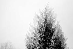 grey winter day (lumofisk) Tags: winter tree nature rain season grey dof wind outdoor smooth baum fichte 135mm wint weich 0mmf0 nikondf
