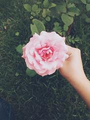 2016-01-06 07.27.29 2 (Thayla Roberta) Tags: pink brazil flower beautiful rose rosa sp corderosa vsco