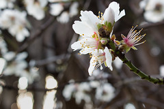 January flowers! (acyee) Tags: family flowers winter tree spring blossoms january cherryblossoms 365 366 acyee twip canon70d 366the2016edition 3662016 twipfamily