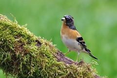 Domaine des oiseaux (Mazres/Arige) (PierreG_09) Tags: ap oiseau faune arige ddo brambling fringillamontifringilla mazres pinsondunord fringillids passriformes domainedesoiseaux