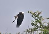 African Fish Eagle ready to strike