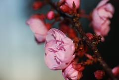 plum_20160213_8 (faeparsons) Tags: flowers blossoms plumblossoms